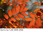 Купить «Веточки с красными листьями рябины. Золотая осень», эксклюзивное фото № 29309356, снято 18 октября 2018 г. (c) lana1501 / Фотобанк Лори