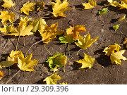 Опавшие кленовые листья. Стоковое фото, фотограф lana1501 / Фотобанк Лори
