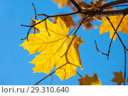 Купить «Желтый кленовый лист на голубом фоне», фото № 29310640, снято 17 октября 2018 г. (c) Татьяна Белова / Фотобанк Лори