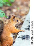 Купить «Close-up photo of a small reddish-haired European squirrel gnawing seeds.», фото № 29310896, снято 21 июля 2018 г. (c) Акиньшин Владимир / Фотобанк Лори