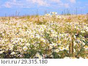 Купить «Ромашковое цветущее поле ярким солнечным летним днем (Matricaria Chamomilla )», фото № 29315180, снято 15 июля 2012 г. (c) Михаил Котов / Фотобанк Лори