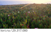 Купить «View on sunset over Carpobrotus edulis meadow on lheu da Papoa island near Peniche peninsula in Portuga», видеоролик № 29317080, снято 5 мая 2018 г. (c) Serg Zastavkin / Фотобанк Лори