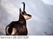Купить «Mountain goat, Gams, Gams in winter, Gams in the winter coat, Gamsbrunft, chamois, chamois in winter, chamois in the winter coat, chamois, chamois in rutting...», фото № 29337520, снято 14 октября 2019 г. (c) age Fotostock / Фотобанк Лори