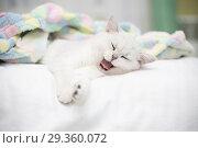 Купить «Beautiful cat breed Scottish straight chinchilla sleeping», фото № 29360072, снято 2 ноября 2018 г. (c) Peredniankina / Фотобанк Лори