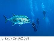 Купить «Giant Trevally and Scuba diver, Caranx ignobilis, Christmas Island, Australia», фото № 29362588, снято 17 декабря 2018 г. (c) age Fotostock / Фотобанк Лори