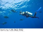Купить «Giant Trevally and Scuba diver, Caranx ignobilis, Christmas Island, Australia», фото № 29362592, снято 17 декабря 2018 г. (c) age Fotostock / Фотобанк Лори