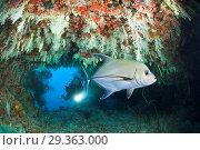 Купить «Scuba Diver exploring Overhang, Felidhu Atoll, Maldives», фото № 29363000, снято 17 декабря 2018 г. (c) age Fotostock / Фотобанк Лори