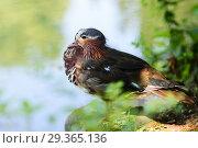 Купить «Утка-мандаринка (Mandarin Duck)», эксклюзивное фото № 29365136, снято 3 июня 2018 г. (c) Игорь Низов / Фотобанк Лори