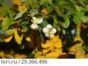 Купить «Листопадный кустарник снежноягодник (Symphoricarpos) осенью», эксклюзивное фото № 29366496, снято 16 октября 2018 г. (c) lana1501 / Фотобанк Лори