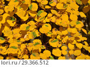 Купить «Фон из ярко-желтых листьев осины обыкновенной», эксклюзивное фото № 29366512, снято 17 октября 2018 г. (c) lana1501 / Фотобанк Лори