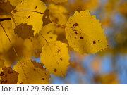 Купить «Яркая листва золотой окраски осины обыкновенной», эксклюзивное фото № 29366516, снято 17 октября 2018 г. (c) lana1501 / Фотобанк Лори