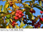 Купить «Мелкие красные яблоки-дичка на ветках. Золотая осень», эксклюзивное фото № 29366532, снято 17 октября 2018 г. (c) lana1501 / Фотобанк Лори