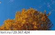 Купить «Autumn trees with yellowing leaves against the sky», видеоролик № 29367424, снято 29 сентября 2018 г. (c) Игорь Жоров / Фотобанк Лори