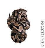 The ball python (Python regius), royal python. Tight packaging, Snake packing. Isolated on white background. Стоковое фото, фотограф Ирина Кожемякина / Фотобанк Лори