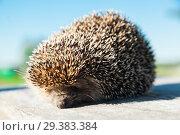 Купить «The lovely hedgehog sits», фото № 29383384, снято 29 июня 2018 г. (c) Чирков Сергей Викторович / Фотобанк Лори