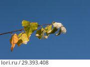 Купить «Birch branch with autumn leaves», фото № 29393408, снято 29 октября 2018 г. (c) Argument / Фотобанк Лори