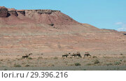 Купить «Bactrian camels under red clay cliffs nera mongolian sandy desert Mongol Els», видеоролик № 29396216, снято 14 июля 2018 г. (c) Serg Zastavkin / Фотобанк Лори