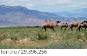 Herd of bactrian camels in mongolian desert. Khovd province, Western Mongolia. (2018 год). Стоковое видео, видеограф Serg Zastavkin / Фотобанк Лори