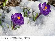 Фиолетовые крокусы (лат. Crocus) в снегу. Стоковое фото, фотограф Елена Коромыслова / Фотобанк Лори