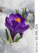 Купить «Фиолетовый крокус (лат. Crocus) в снегу крупным планом», фото № 29396324, снято 16 апреля 2018 г. (c) Елена Коромыслова / Фотобанк Лори