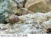 Купить «Улитка расписная (лат. Eobania vermiculata) ползет по камню. Керчь, Крым», фото № 29397848, снято 7 сентября 2018 г. (c) Наталья Гармашева / Фотобанк Лори