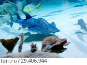 Купить «Акулий скат (bowmouth guitarfish)», фото № 29406944, снято 8 ноября 2018 г. (c) Галина Савина / Фотобанк Лори