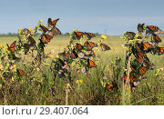 Купить «Monarch butterfly (Danaus plexippus).Many butterflies while traveling to wintering grounds. Texas Gulf Coast.», фото № 29407064, снято 10 ноября 2018 г. (c) Ирина Кожемякина / Фотобанк Лори