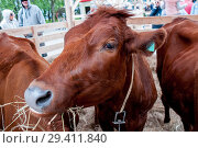 Купить «Russia, Khabarovsk, September 8, 2018: a brown cow chewing hay at an animal husbandry exhibition», фото № 29411840, снято 8 сентября 2018 г. (c) Катерина Белякина / Фотобанк Лори