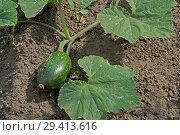 Купить «Маленькая зелёная тыква», фото № 29413616, снято 17 сентября 2018 г. (c) Инга Прасолова / Фотобанк Лори