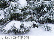 Купить «Winter natural background of snowy conifer trees. Snowfall and cyclone, cold weather», фото № 29419648, снято 5 февраля 2018 г. (c) Виктория Катьянова / Фотобанк Лори