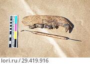 Купить «Археологическая находка - остатки челюсти средневекового медведя», фото № 29419916, снято 6 июля 2018 г. (c) Круглов Олег / Фотобанк Лори