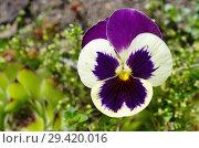 Купить «Фиалка трехцветная (лат. Viola tricolor), или анютины глазки крупным планом», фото № 29420016, снято 16 июня 2018 г. (c) Елена Коромыслова / Фотобанк Лори