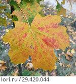 Big Yellow maple leaf. Стоковое фото, фотограф Сергей Бочаров / Фотобанк Лори