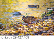 Купить «Утки плавают по пруду осенью», фото № 29427408, снято 18 октября 2018 г. (c) Natalya Sidorova / Фотобанк Лори