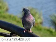 Купить «Сизый голубь с блестящими, переливающимися на шее перьями», эксклюзивное фото № 29428360, снято 16 октября 2018 г. (c) lana1501 / Фотобанк Лори