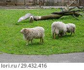Купить «Карликовые овцы (Ovis aries aries) пасутся на лужайке зоопарка», фото № 29432416, снято 8 мая 2016 г. (c) Ирина Борсученко / Фотобанк Лори