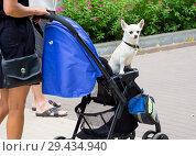 Купить «Хозяин везет свою собаку в детской коляске», фото № 29434940, снято 24 июня 2018 г. (c) Вячеслав Палес / Фотобанк Лори