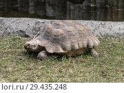 Купить «Сухопутная шпороносная черепаха в зоопарке», фото № 29435248, снято 5 августа 2016 г. (c) Наталья Волкова / Фотобанк Лори