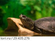 Portrait of european pond turtle in a terrarium, most of the frame is blurred. Стоковое фото, фотограф Евгений Харитонов / Фотобанк Лори