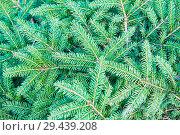 Купить «Фон из ветвей хвойного дерева», фото № 29439208, снято 5 августа 2018 г. (c) Екатерина Овсянникова / Фотобанк Лори
