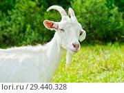 Купить «Смешной белый козлик на поляне рядом с лесом», фото № 29440328, снято 7 августа 2018 г. (c) Екатерина Овсянникова / Фотобанк Лори