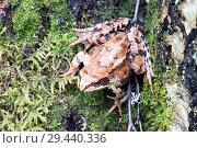 Купить «Tree frog on spring leaves. Lithobates sylvaticus .Russia. Leningrad region.», фото № 29440336, снято 3 июля 2018 г. (c) Алексей Маринченко / Фотобанк Лори