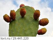 Beautiful prickly pear cactus on sky background. Стоковое фото, фотограф Володина Ольга / Фотобанк Лори