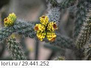 Купить «A Beautiful cactus with an yellow flowers», фото № 29441252, снято 5 ноября 2018 г. (c) Володина Ольга / Фотобанк Лори