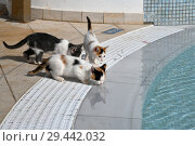Купить «Kittens drink water from the pool outside», фото № 29442032, снято 3 ноября 2018 г. (c) Володина Ольга / Фотобанк Лори