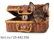 Купить «Thoroughbred toy Terrier dog lying in a suitcase for picnic», фото № 29442936, снято 3 ноября 2018 г. (c) Алексей Кузнецов / Фотобанк Лори