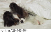Купить «Beautiful dog Papillon lies under blanket on the bed and looks around stock footage video», видеоролик № 29443404, снято 8 ноября 2018 г. (c) Юлия Машкова / Фотобанк Лори