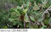 Купить «prickly pear cactus on sky background», видеоролик № 29443508, снято 5 ноября 2018 г. (c) Володина Ольга / Фотобанк Лори