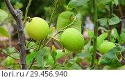 Купить «The Unripe green lemons on a branch», видеоролик № 29456940, снято 5 ноября 2018 г. (c) Володина Ольга / Фотобанк Лори