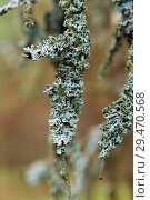 Lichen on tree branches close-up on blurred background. Стоковое фото, фотограф Сергей Носов / Фотобанк Лори